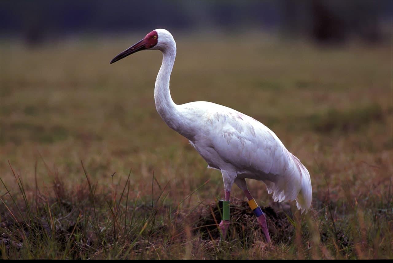 белый журавль фото птицы этом