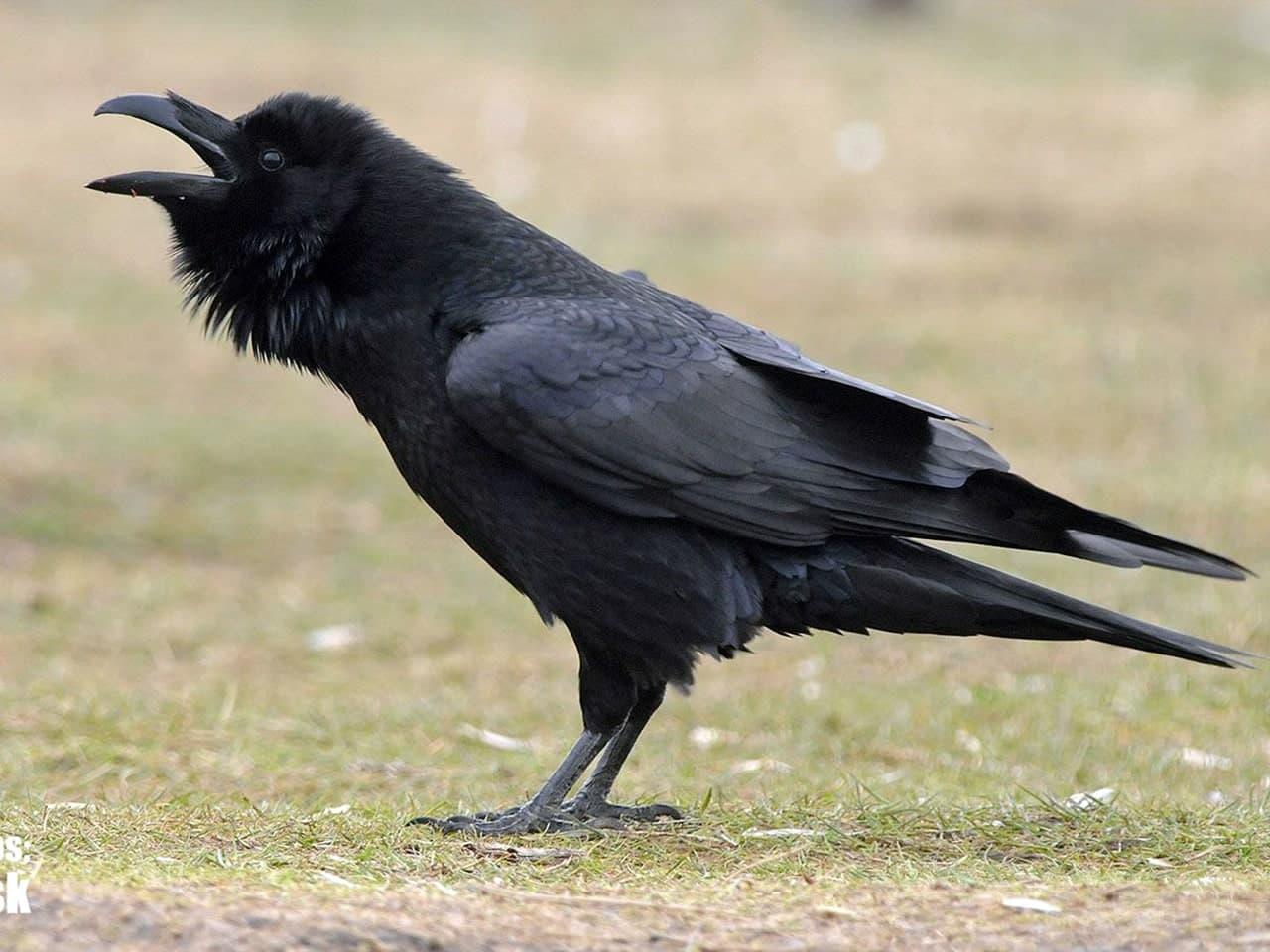 Фото черного ворона