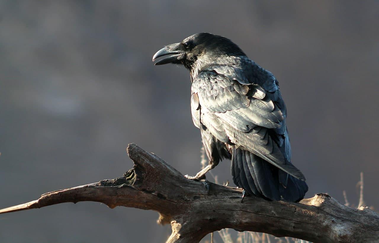 Ворон фото птицы