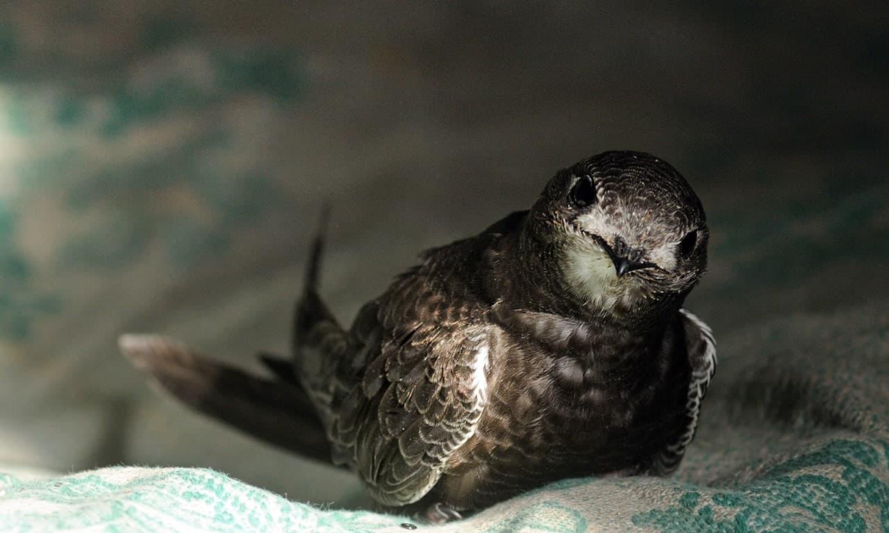 Фото чижа стрижа птица