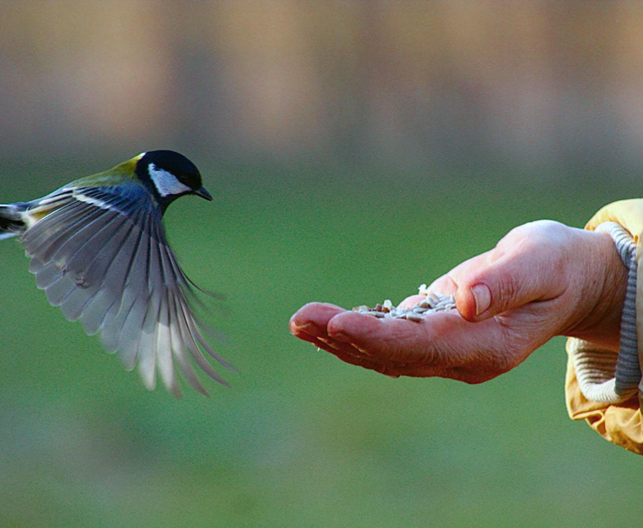 Синичка летит к руке