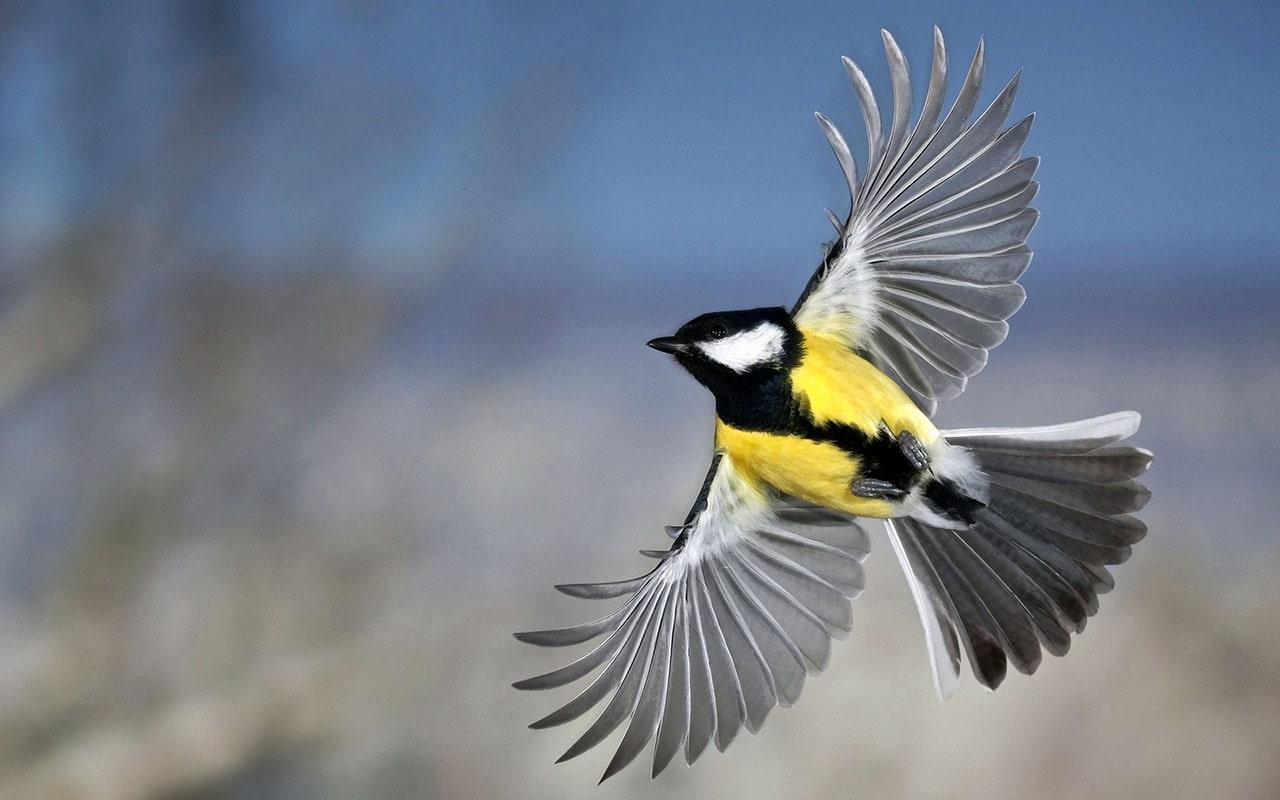 Птичка синица в полете