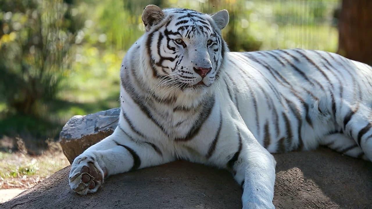 Белый тигр фото